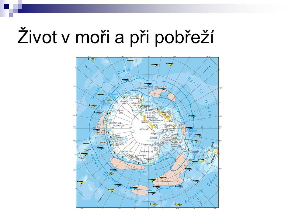 Flóra Arktidy obdobná jako na Antarktidě na krytých místech – kvetoucí semenné rostliny: dryádky mák polární z čeledi makovité (Papaveraceae)