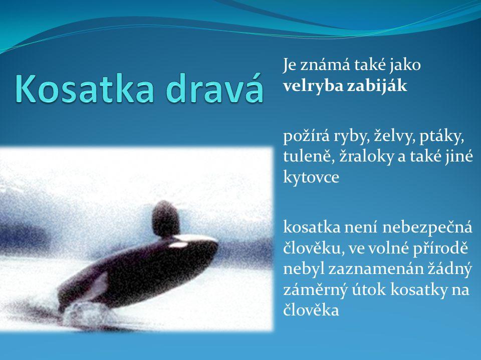 Je známá také jako velryba zabiják požírá ryby, želvy, ptáky, tuleně, žraloky a také jiné kytovce kosatka není nebezpečná člověku, ve volné přírodě ne