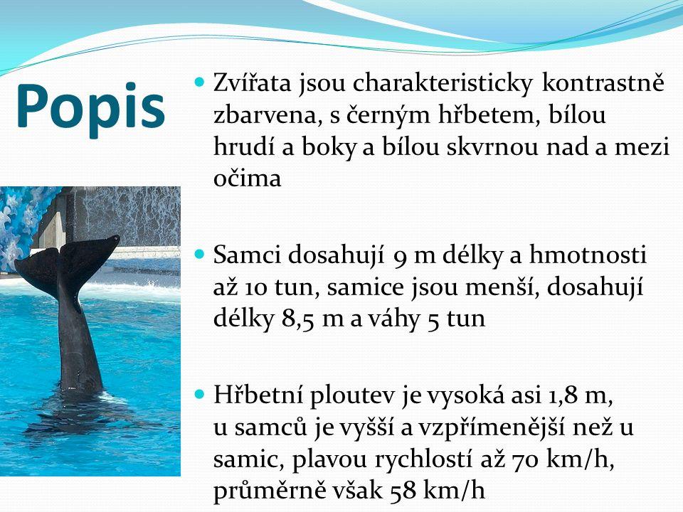 Lov kosatek Poté co byly počty větších druhů velryb příliš zredukovány, se i kosatky staly v polovině 20.