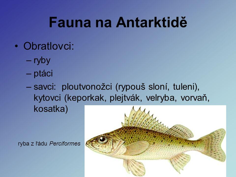 Fauna na Antarktidě Obratlovci: –ryby –ptáci –savci: ploutvonožci (rypouš sloní, tuleni), kytovci (keporkak, plejtvák, velryba, vorvaň, kosatka) ryba z řádu Perciformes