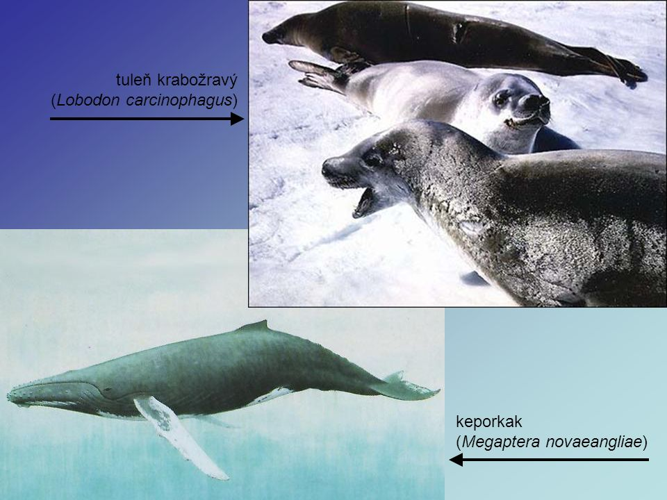tuleň krabožravý (Lobodon carcinophagus) keporkak (Megaptera novaeangliae)