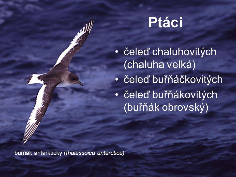 Ptáci čeleď chaluhovitých (chaluha velká) čeleď buřňáčkovitých čeleď buřňákovitých (buřňák obrovský) buřňák antarktický (thalassoica antarctica)