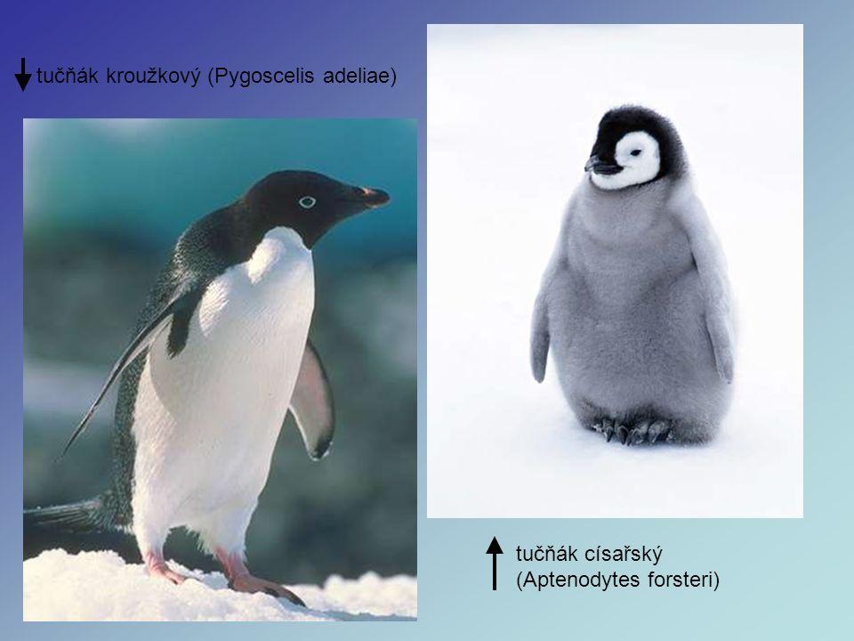 tučňák kroužkový (Pygoscelis adeliae) tučňák císařský (Aptenodytes forsteri)