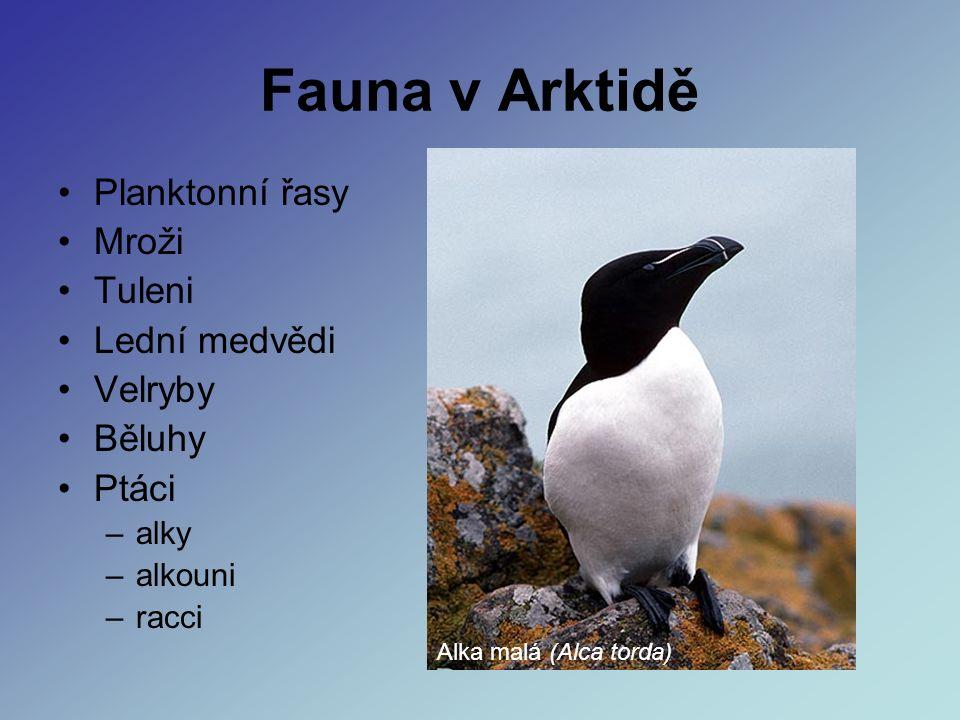 Fauna v Arktidě Planktonní řasy Mroži Tuleni Lední medvědi Velryby Běluhy Ptáci –alky –alkouni –racci Alka malá (Alca torda)