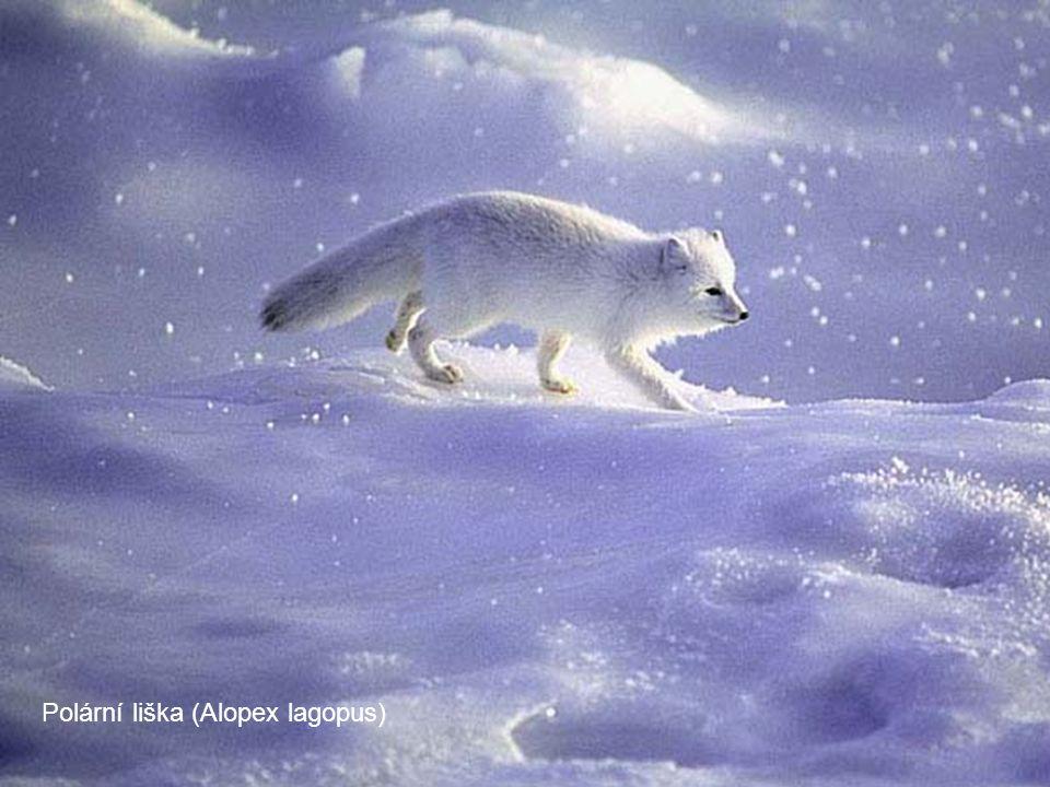 Polární liška (Alopex lagopus)
