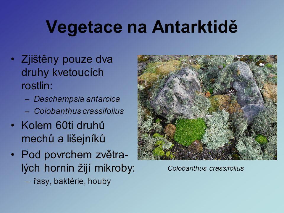 Vegetace na Antarktidě Zjištěny pouze dva druhy kvetoucích rostlin: –Deschampsia antarcica –Colobanthus crassifolius Kolem 60ti druhů mechů a lišejníků Pod povrchem zvětra- lých hornin žijí mikroby: –řasy, baktérie, houby Colobanthus crassifolius
