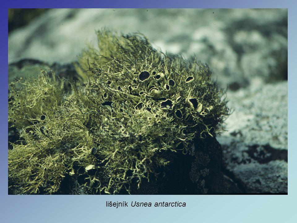 lišejník Usnea antarctica