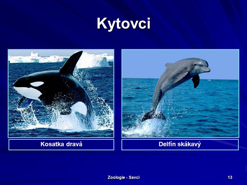 Zoologie - Savci 13 Kytovci Kosatka draváDelfín skákavý