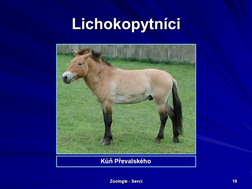 Zoologie - Savci 19 Lichokopytníci Kůň Převalského
