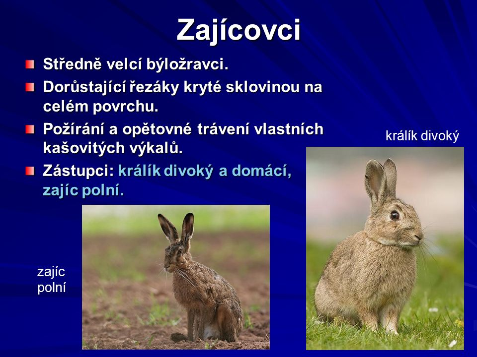 Zoologie - Savci 7 Zajícovci Středně velcí býložravci.