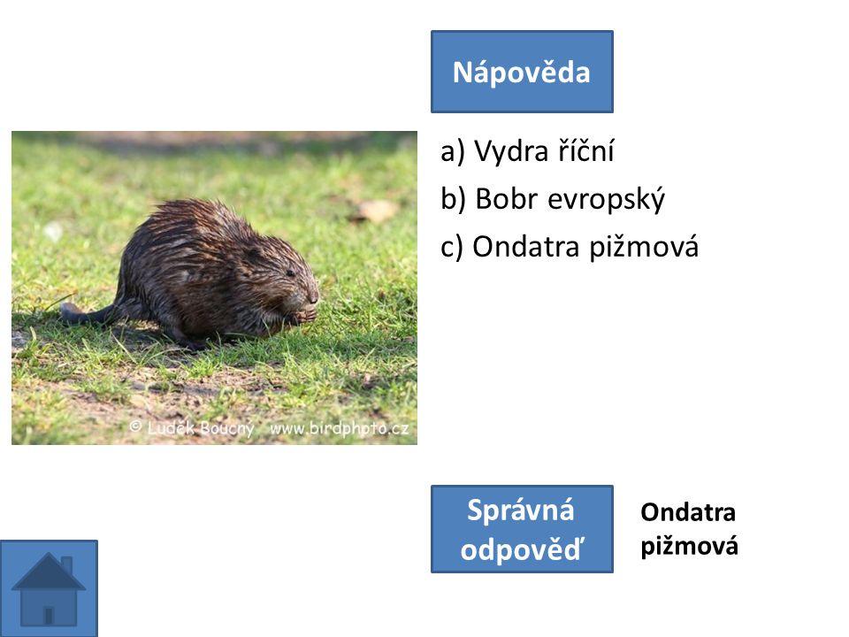 a) Vydra říční b) Bobr evropský c) Ondatra pižmová Nápověda Správná odpověď Ondatra pižmová