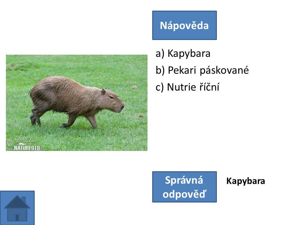 a) Kapybara b) Pekari páskované c) Nutrie říční Nápověda Správná odpověď Kapybara