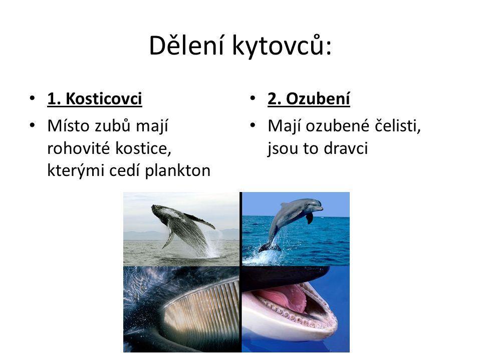 Dělení kytovců: 1.Kosticovci Místo zubů mají rohovité kostice, kterými cedí plankton 2.