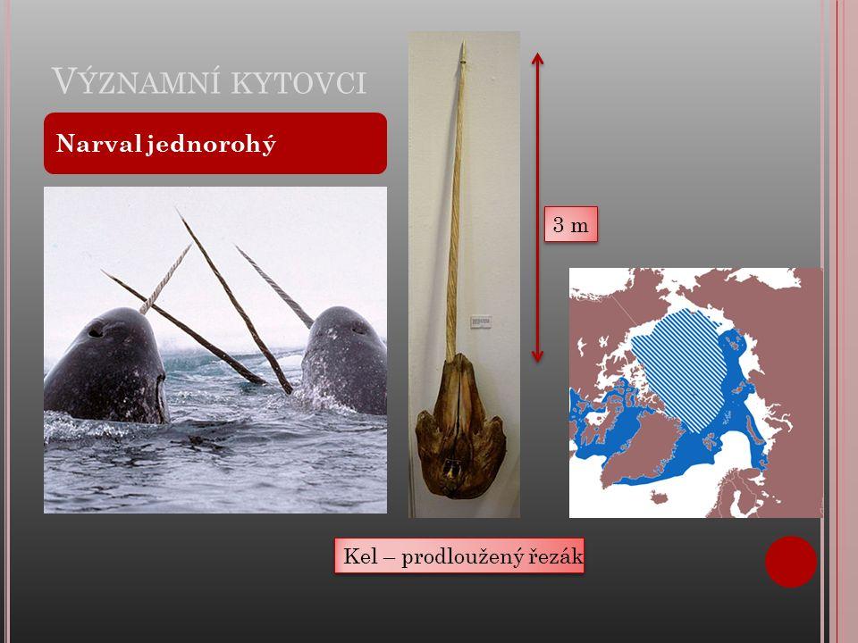 V ÝZNAMNÍ KYTOVCI Narval jednorohý Kel – prodloužený řezák 3 m