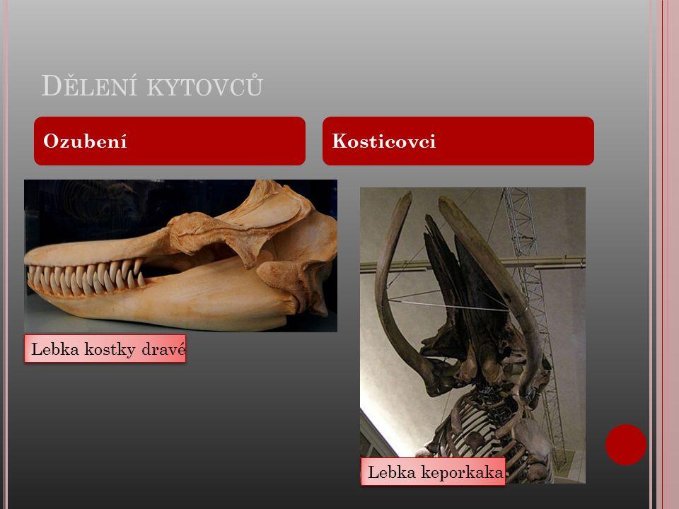 D ĚLENÍ KYTOVCŮ OzubeníKosticovci Lebka kostky dravé Lebka keporkaka