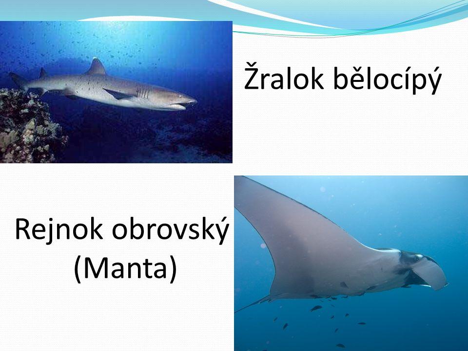 Žralok bělocípý Rejnok obrovský (Manta)