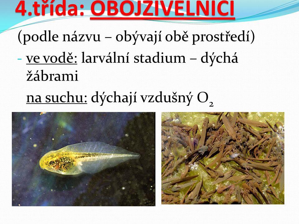 4.třída: OBOJŽIVELNÍCI (podle názvu – obývají obě prostředí) - ve vodě: larvální stadium – dýchá žábrami na suchu: dýchají vzdušný O 2