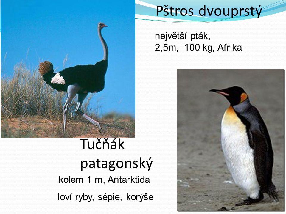 Pštros dvouprstý největší pták, 2,5m, 100 kg, Afrika Tučňák patagonský kolem 1 m, Antarktida loví ryby, sépie, korýše