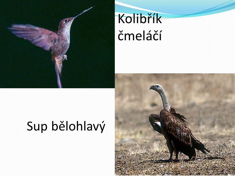 Kolibřík čmeláčí Sup bělohlavý