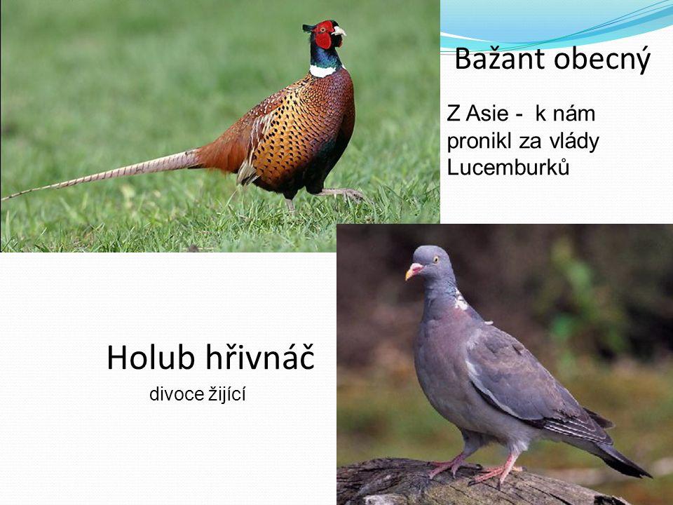 Bažant obecný Z Asie - k nám pronikl za vlády Lucemburků Holub hřivnáč divoce žijící