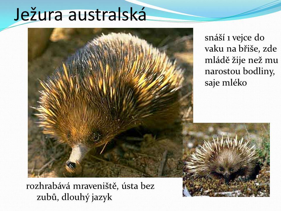 Ježura australská snáší 1 vejce do vaku na břiše, zde mládě žije než mu narostou bodliny, saje mléko rozhrabává mraveniště, ústa bez zubů, dlouhý jazyk