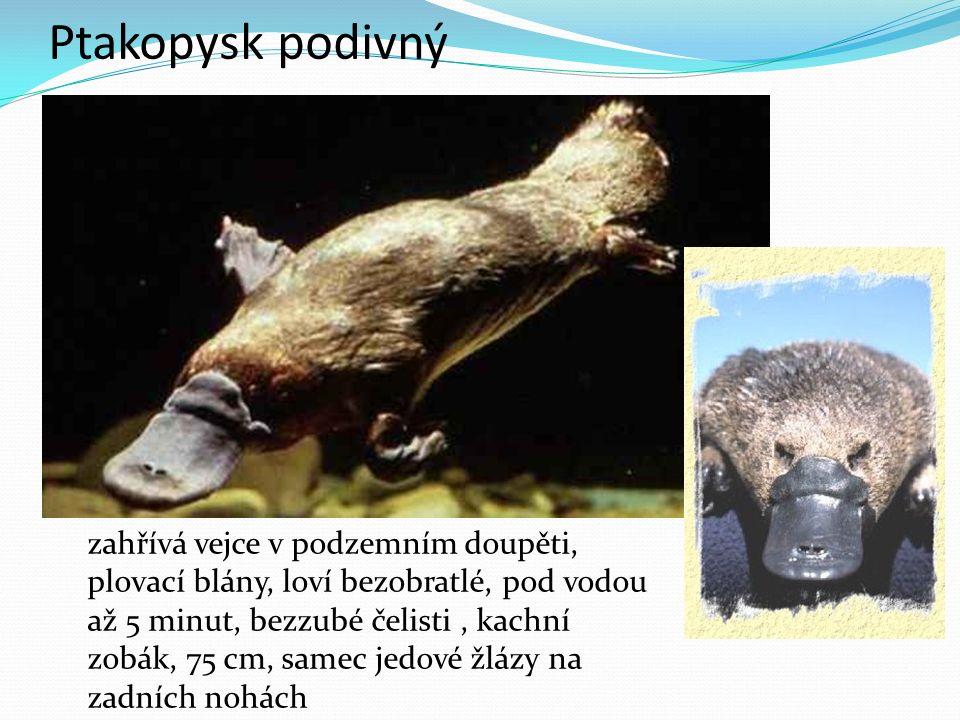 Ptakopysk podivný zahřívá vejce v podzemním doupěti, plovací blány, loví bezobratlé, pod vodou až 5 minut, bezzubé čelisti, kachní zobák, 75 cm, samec jedové žlázy na zadních nohách
