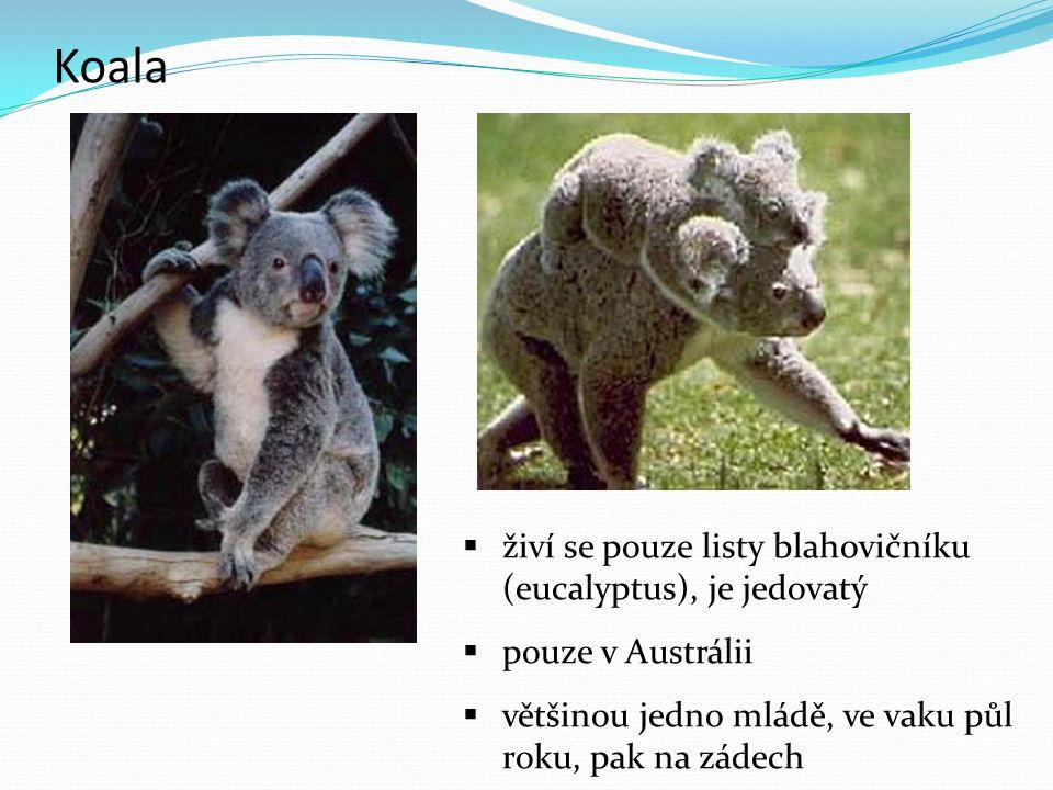 Koala  živí se pouze listy blahovičníku (eucalyptus), je jedovatý  pouze v Austrálii  většinou jedno mládě, ve vaku půl roku, pak na zádech