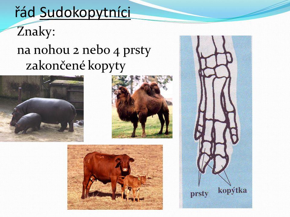 řád Sudokopytníci Znaky: na nohou 2 nebo 4 prsty zakončené kopyty