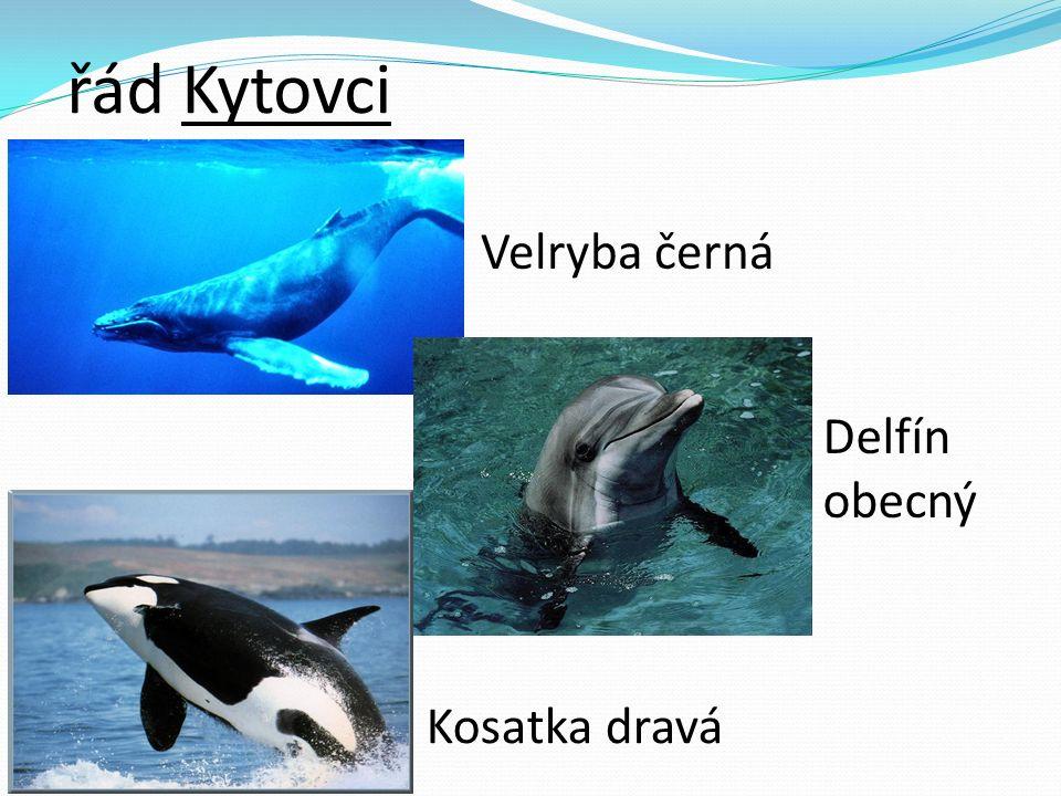 řád Kytovci Velryba černá Delfín obecný Kosatka dravá
