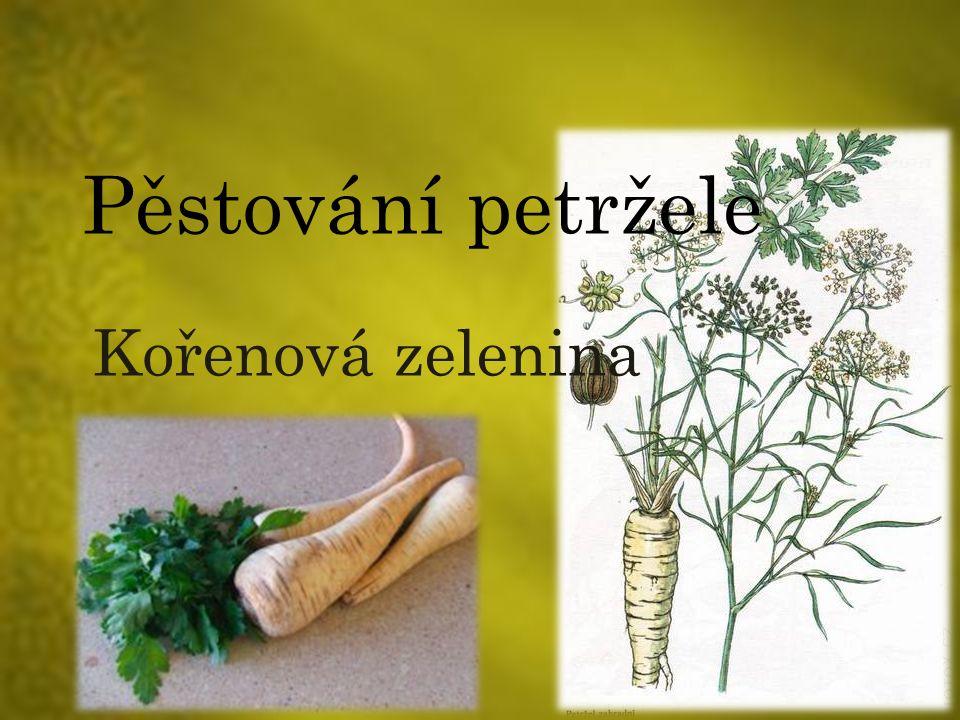 Pěstování petržele Kořenová zelenina