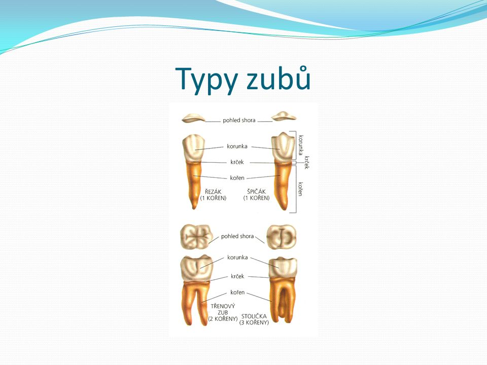 Typy zubů
