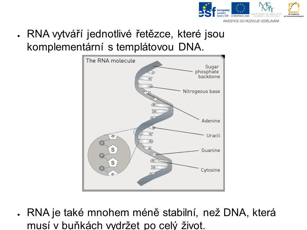 ● RNA vytváří jednotlivé řetězce, které jsou komplementární s templátovou DNA.