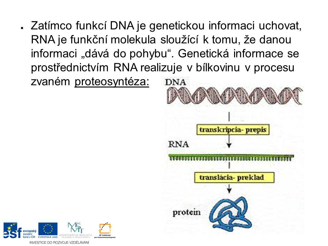 """● Zatímco funkcí DNA je genetickou informaci uchovat, RNA je funkční molekula sloužící k tomu, že danou informaci """"dává do pohybu ."""