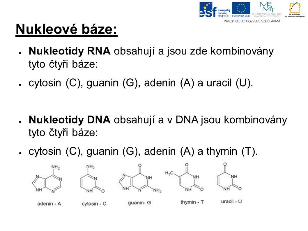 Nukleové báze: ● Nukleotidy RNA obsahují a jsou zde kombinovány tyto čtyři báze: ● cytosin (C), guanin (G), adenin (A) a uracil (U).