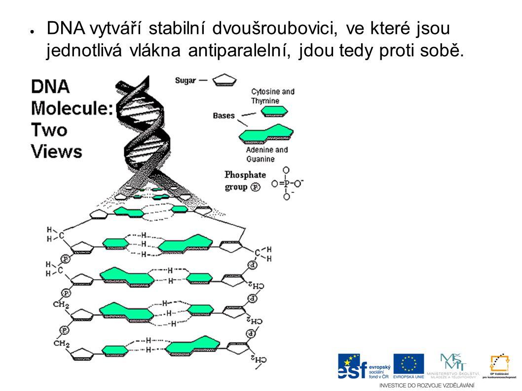 ● DNA vytváří stabilní dvoušroubovici, ve které jsou jednotlivá vlákna antiparalelní, jdou tedy proti sobě.