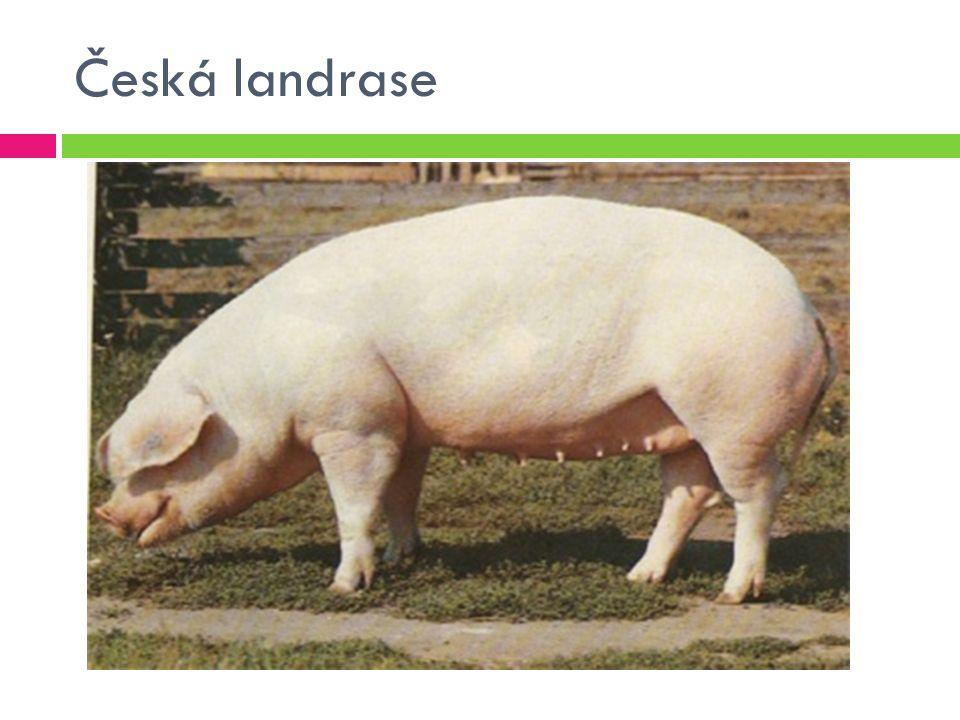 Česká landrase