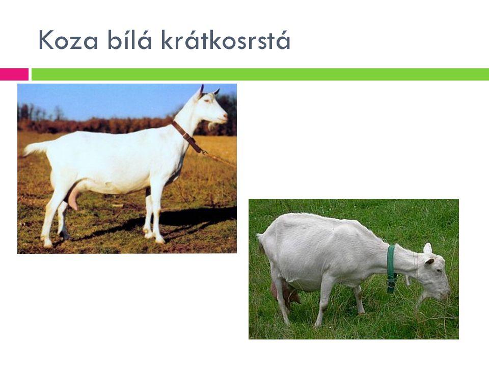 Koza bílá krátkosrstá