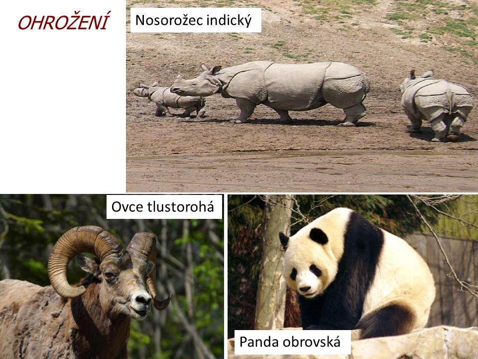 9.10.2013 OHROŽENÍ Ovce tlustorohá Panda obrovská Nosorožec indický