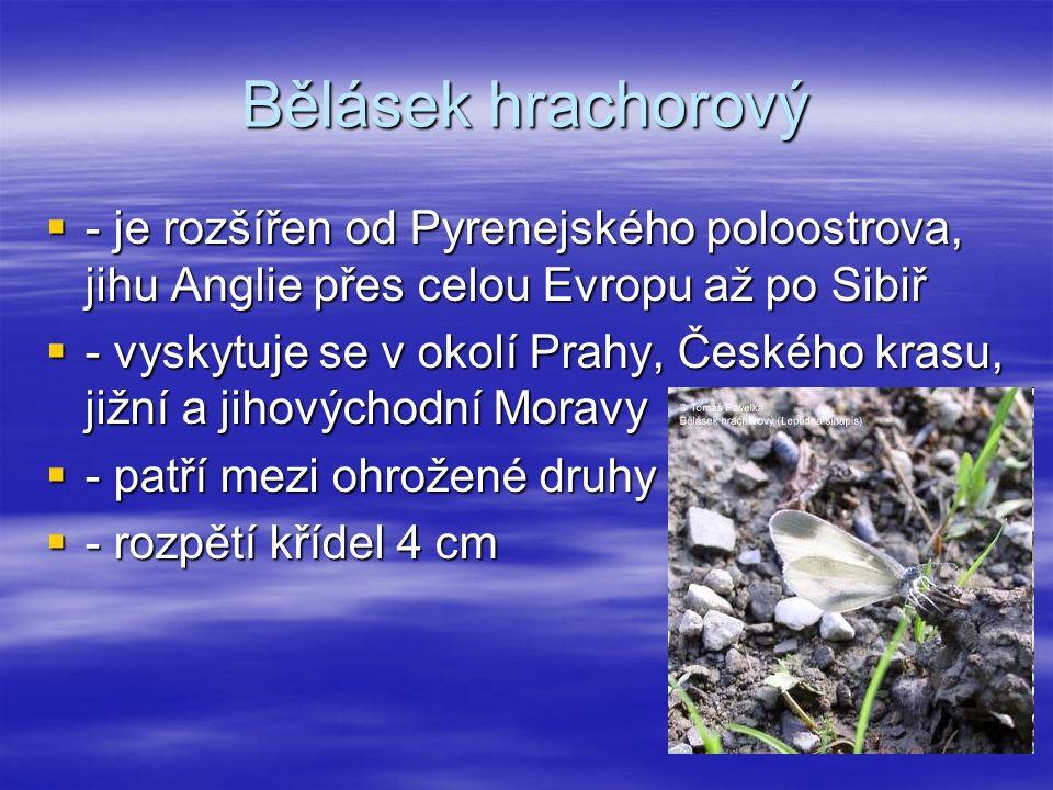Bělásek hrachorový ---- je rozšířen od Pyrenejského poloostrova, jihu Anglie přes celou Evropu až po Sibiř ---- vyskytuje se v okolí Prahy, Českého krasu, jižní a jihovýchodní Moravy ---- patří mezi ohrožené druhy ---- rozpětí křídel 4 cm