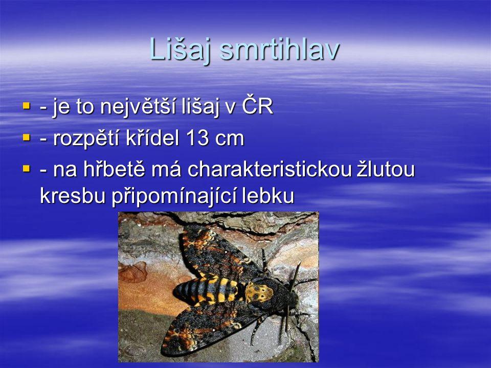 Lišaj smrtihlav  - je to největší lišaj v ČR  - rozpětí křídel 13 cm  - na hřbetě má charakteristickou žlutou kresbu připomínající lebku
