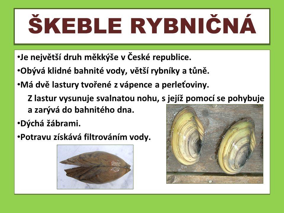 ŠKEBLE RYBNIČNÁ Je největší druh měkkýše v České republice. Obývá klidné bahnité vody, větší rybníky a tůně. Má dvě lastury tvořené z vápence a perleť