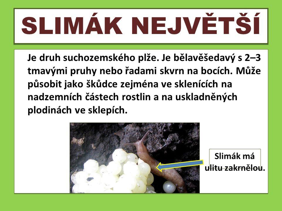 SLIMÁK NEJVĚTŠÍ Je druh suchozemského plže. Je bělavěšedavý s 2–3 tmavými pruhy nebo řadami skvrn na bocích. Může působit jako škůdce zejména ve sklen
