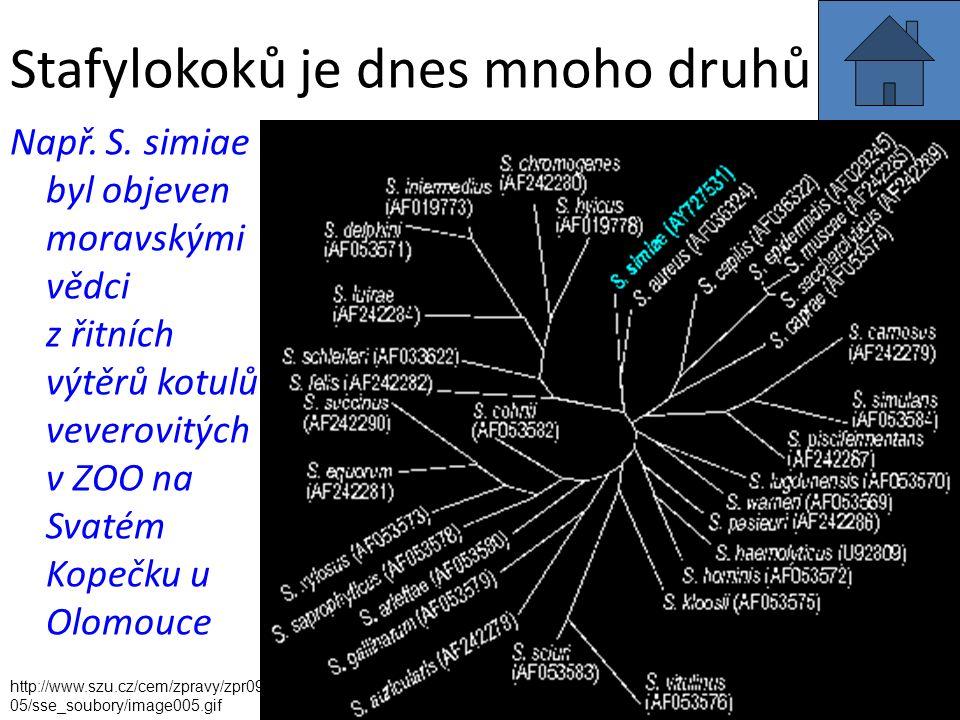 Stafylokoků je dnes mnoho druhů Např. S. simiae byl objeven moravskými vědci z řitních výtěrů kotulů veverovitých v ZOO na Svatém Kopečku u Olomouce h