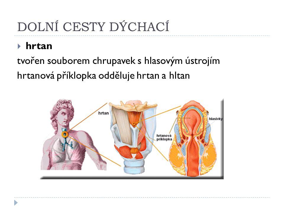 DOLNÍ CESTY DÝCHACÍ  hrtan tvořen souborem chrupavek s hlasovým ústrojím hrtanová příklopka odděluje hrtan a hltan