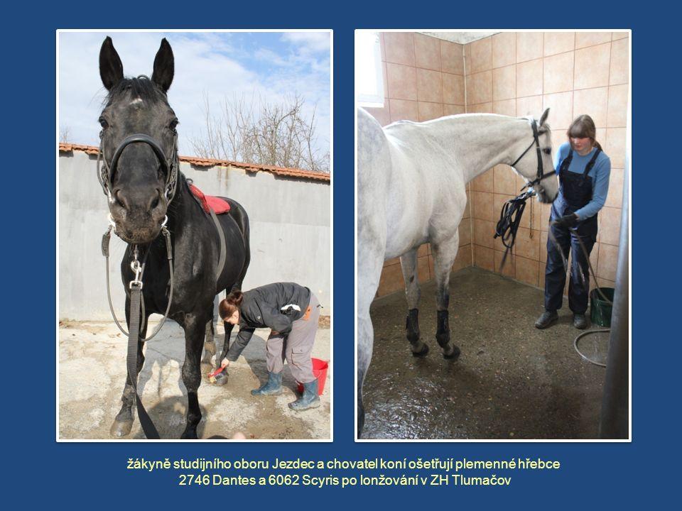 žákyně studijního oboru Jezdec a chovatel koní ošetřují plemenné hřebce 2746 Dantes a 6062 Scyris po lonžování v ZH Tlumačov