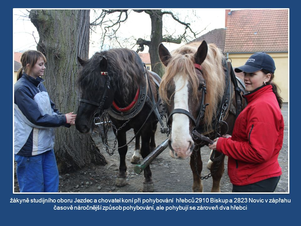 žákyně studijního oboru Jezdec a chovatel koní při pohybování hřebců 2910 Biskup a 2823 Novic v zápřahu časově náročnější způsob pohybování, ale pohybují se zároveň dva hřebci