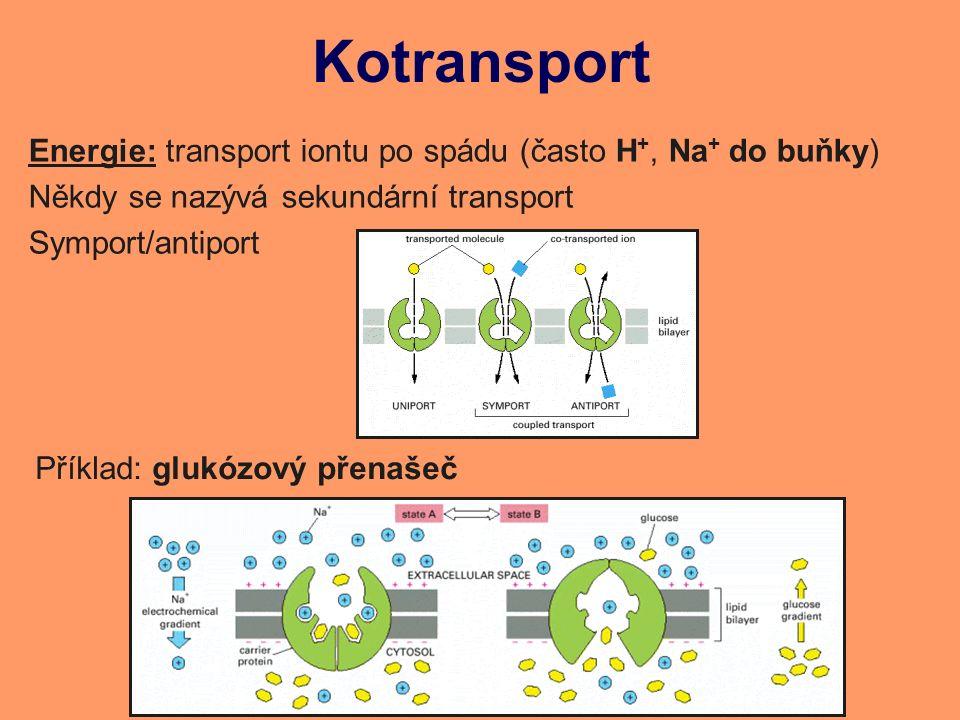 Kotransport Energie: transport iontu po spádu (často H +, Na + do buňky) Někdy se nazývá sekundární transport Symport/antiport Příklad: glukózový přenašeč