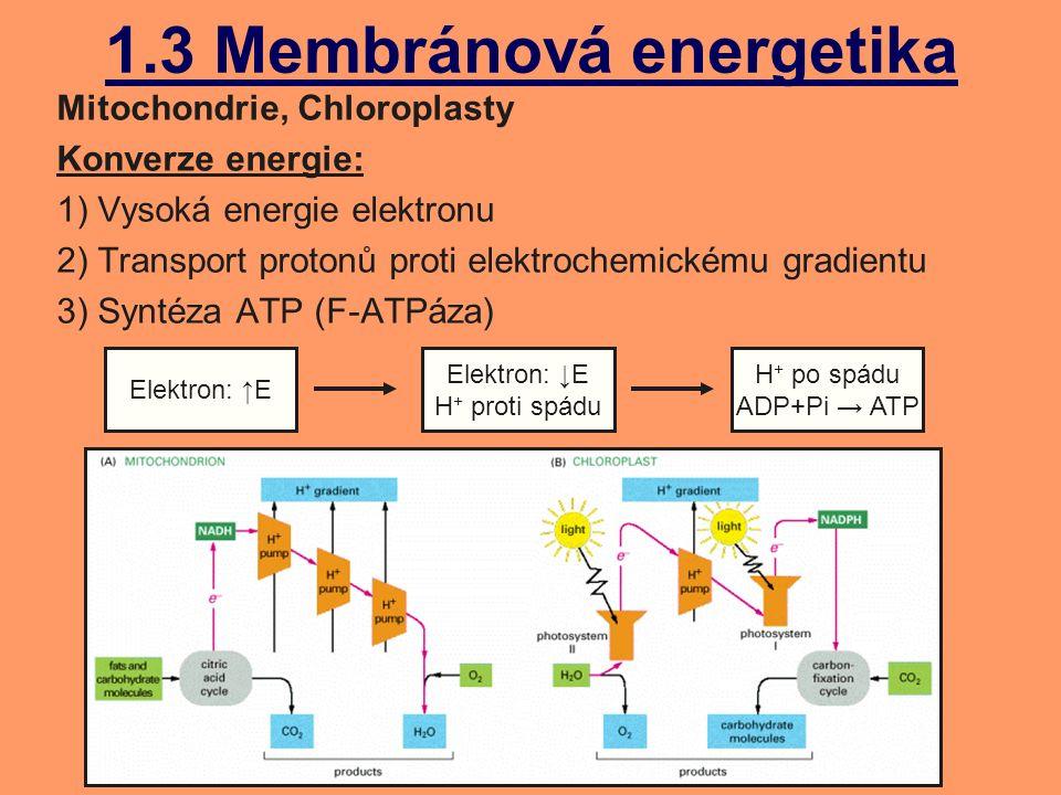 1.3 Membránová energetika Mitochondrie, Chloroplasty Konverze energie: 1) Vysoká energie elektronu 2) Transport protonů proti elektrochemickému gradientu 3) Syntéza ATP (F-ATPáza) Elektron: ↑E Elektron: ↓E H + proti spádu H + po spádu ADP+Pi → ATP
