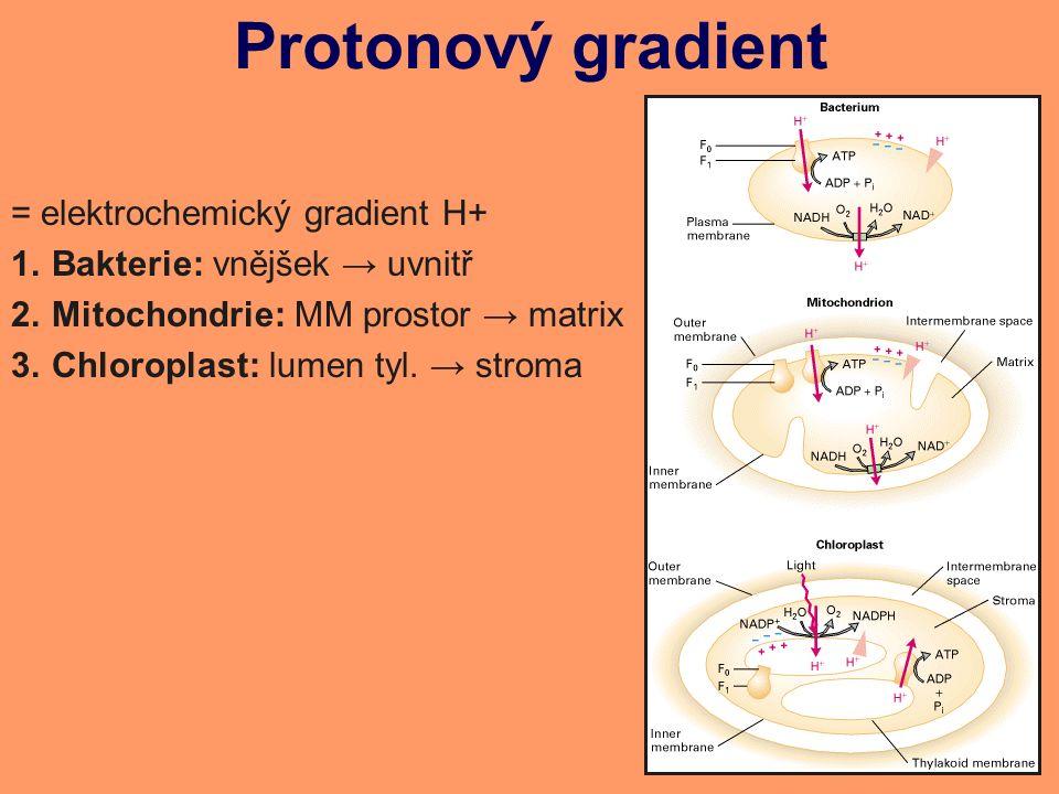 Protonový gradient = elektrochemický gradient H+ 1.Bakterie: vnějšek → uvnitř 2.Mitochondrie: MM prostor → matrix 3.Chloroplast: lumen tyl.