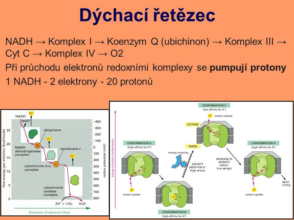 Dýchací řetězec NADH → Komplex I → Koenzym Q (ubichinon) → Komplex III → Cyt C → Komplex IV → O2 Při průchodu elektronů redoxními komplexy se pumpují protony 1 NADH - 2 elektrony - 20 protonů